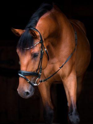 Pferd vor schwarzem Hintergrund